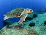Antalya Körfezi'ni denizanası istilasından kaplumbağalar koruyor